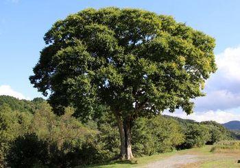 10008 樹202010.JPG