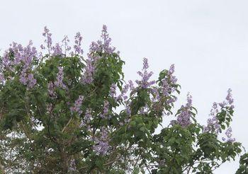 10665 桐の花202105-1.JPG