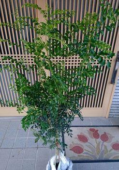 10742 シマトネリコ202106-01.JPG