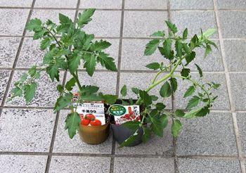 9450 野菜苗202005-02.JPG